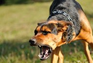 Photo of an aggressive dog